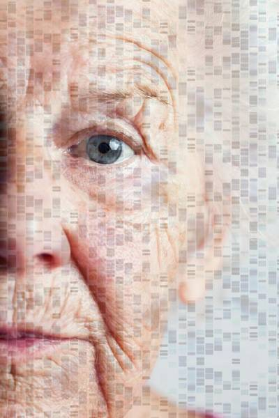 Autoradiogram Photograph - Genetics Of Ageing by Cristina Pedrazzini/science Photo Library