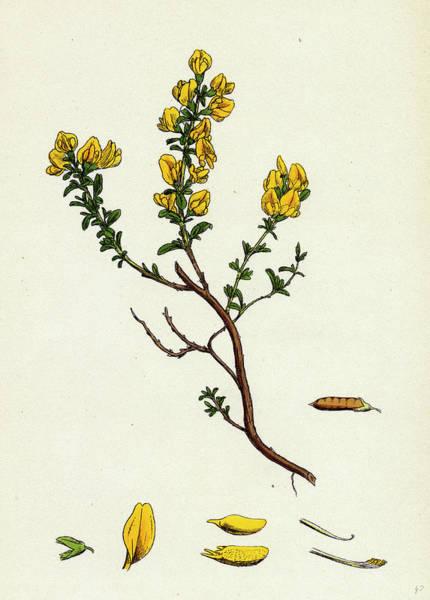 Weeds Drawing - Genista Pilosa Hairy Green-weed by English School