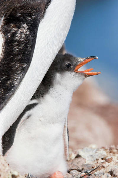 Gentoo Wall Art - Photograph - Gentoo Chick Calling by William Ervin/science Photo Library