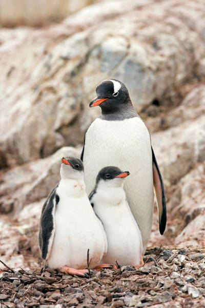 Gentoo Wall Art - Photograph - Gentoo Penguin And Chicks by William Ervin/science Photo Library