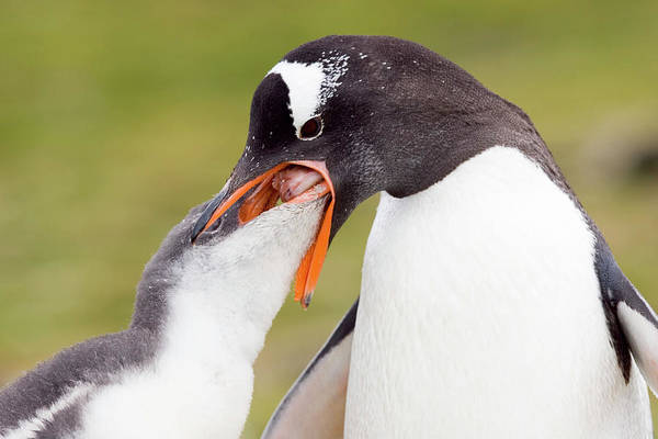 Gentoo Wall Art - Photograph - Gentoo Penguin Feeding Its Chick by William Ervin/science Photo Library