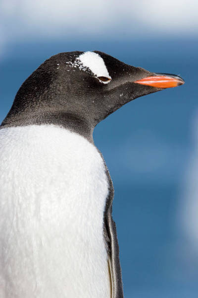 Gentoo Wall Art - Photograph - Gentoo Penguin by William Ervin/science Photo Library