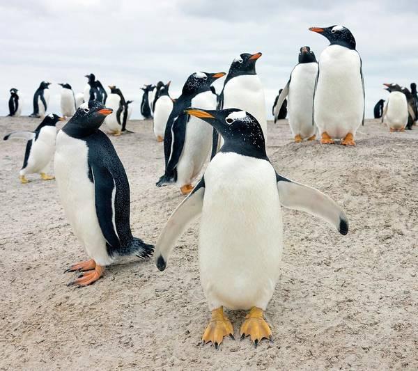 Gentoo Wall Art - Photograph - Gentoo Penguins by Steve Allen/science Photo Library