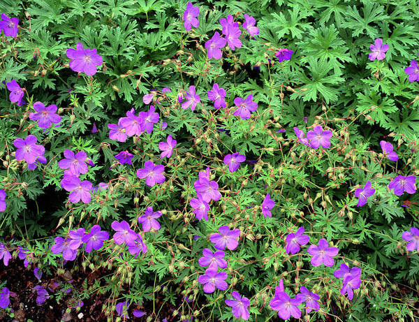 Horticulture Photograph - Geranium Flowers by Geoff Kidd/science Photo Library
