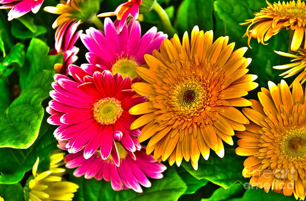 Photograph - Gerbera Daisy by William Norton
