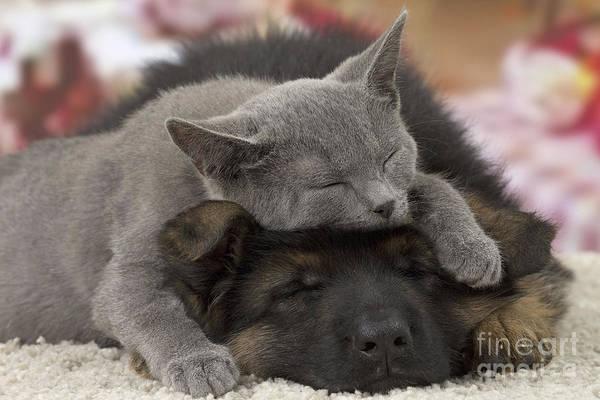 Photograph - German Shepherd And Chartreux Kitten by Jean-Michel Labat