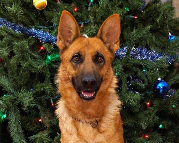 Photograph - German Shepherd Christmas Card 2 by Sandy Keeton