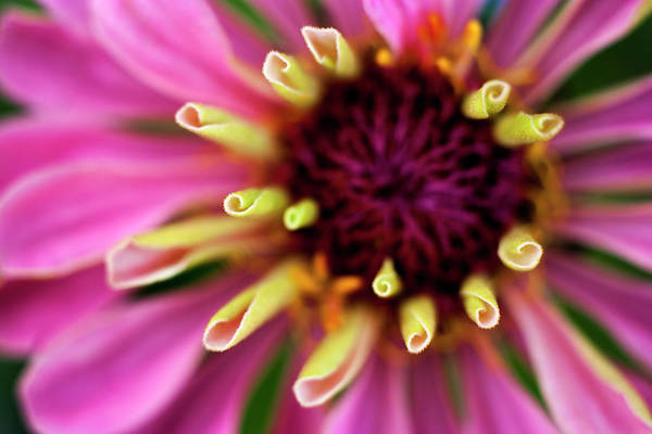 Wall Art - Photograph - Germany, Zinnia Flower, Close Up by Westend61