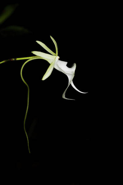 Florida Flora Photograph - Ghost Orchid In Bloom, Polyrrhiza by Maresa Pryor