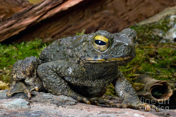 Asps Photograph - Giant Asian Toad by Frank Teigler