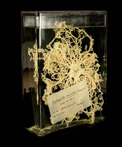 Basket Stars Photograph - Giant Basket Star by Natural History Museum, London