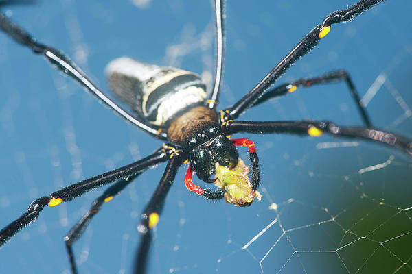 Orb Photograph - Giant Golden Orb Weaver Spider by Scubazoo/science Photo Library