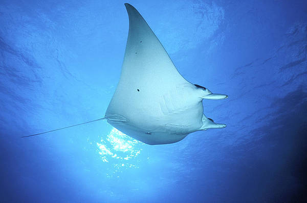 Manta Rays Photograph - Giant Manta by Clay Coleman/science Photo Library