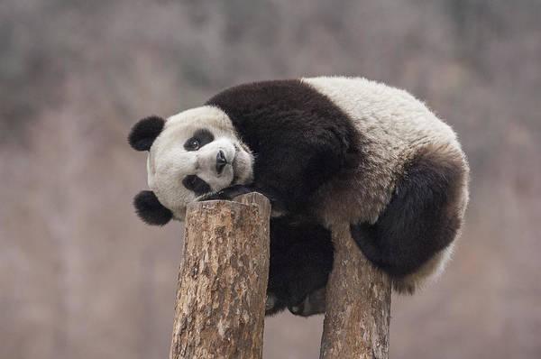 Vertebrata Photograph - Giant Panda Cub Wolong National Nature by Katherine Feng