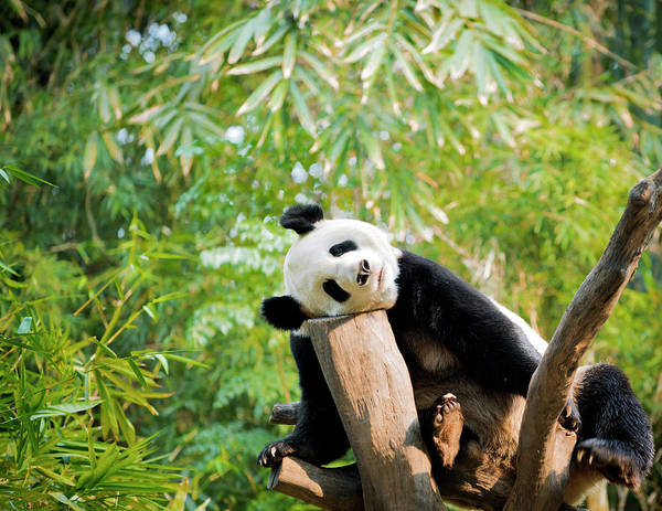 Wall Art - Photograph - Giant Panda by Pan Xunbin