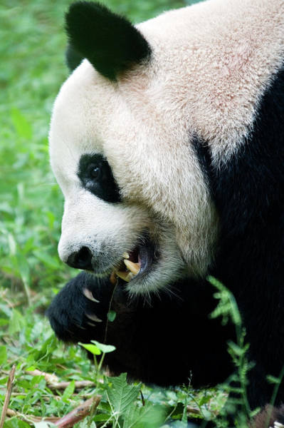 Panda Bear Photograph - Giant Panda by Steve Allen/science Photo Library