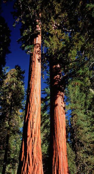 Wall Art - Photograph - Giant Sequoia Trees by David Nunuk/science Photo Library