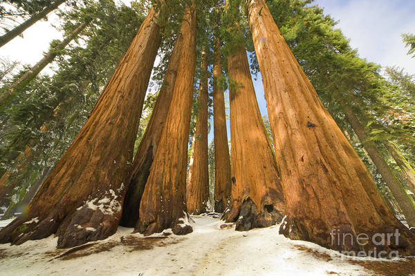 Photograph - Giant Sequoias Sequoia N P by Yva Momatiuk John Eastcott