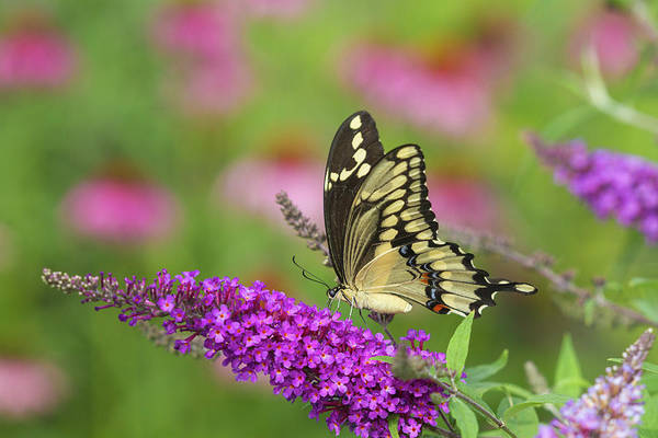 Butterfly Bush Wall Art - Photograph - Giant Swallowtail Butterfly Papilio by Panoramic Images