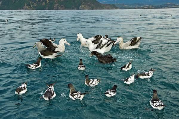 Seabirds Wall Art - Photograph - Gibson's Wandering Albatrosses by Tony Camacho/science Photo Library