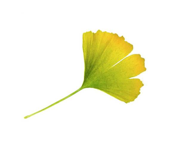 Single Leaf Wall Art - Photograph - Ginkgo Biloba Leaf by Cordelia Molloy