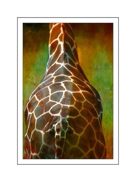 Photograph - Giraffe Colors by Alice Gipson