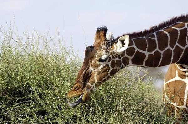 Wall Art - Photograph - Giraffe Feeding by Dr P. Marazzi/science Photo Library