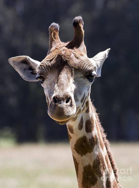 Photograph - Giraffe by Steven Ralser