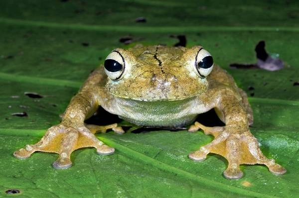 Hyla Wall Art - Photograph - Gladiator Treefrog by Sinclair Stammers/science Photo Library