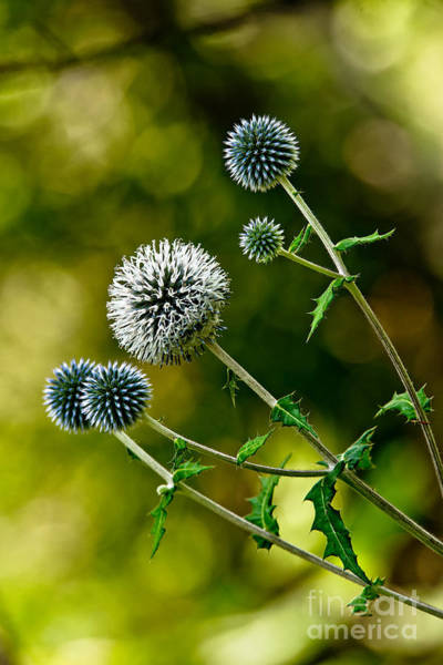 Photograph - Globe Thistle by Michael Cummings