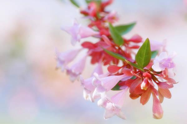 Glossy Wall Art - Photograph - Glossy Abelia (abelia X Grandiflora) by Maria Mosolova/science Photo Library
