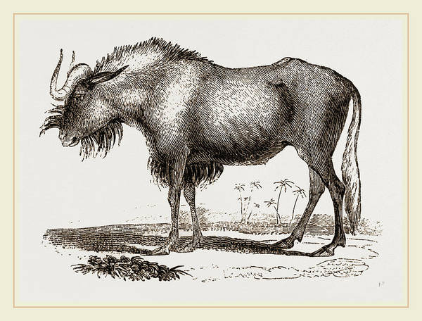 Gnus Drawing - Gnu by Litz Collection