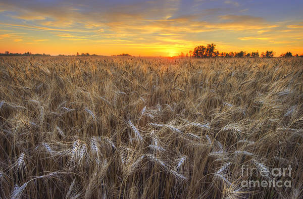 Golden Barley Art Print