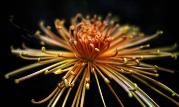 Mums Photograph - Golden Chrysanthemum by Jessica Jenney