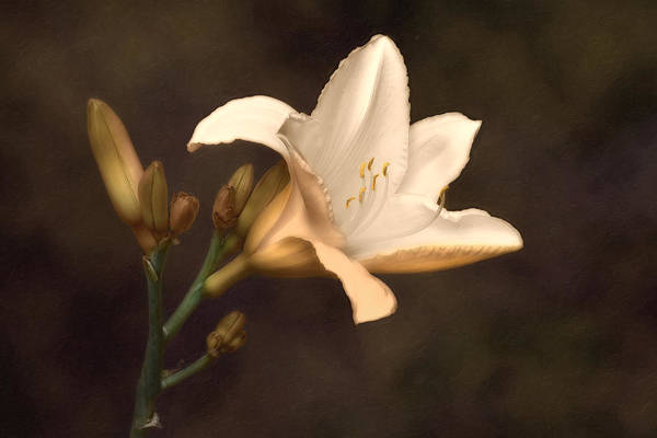 Flower Head Photograph - Golden Daylily by Tom Mc Nemar