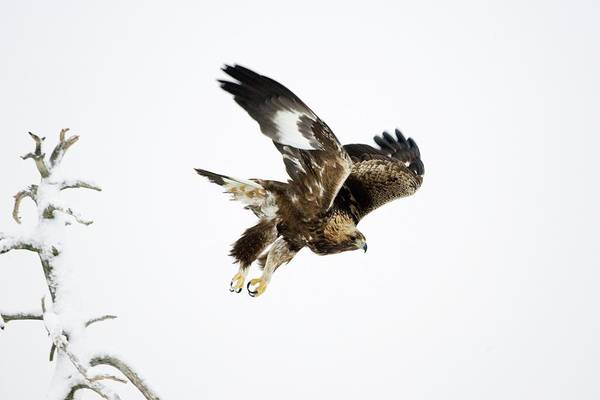 Falconiformes Photograph - Golden Eagle In Flight by John Devries/science Photo Library