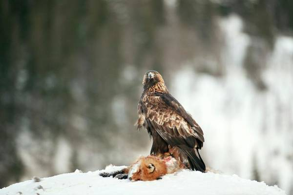 Golden Eagle Photograph - Golden Eagle With Its Prey by Dr P. Marazzi/science Photo Library