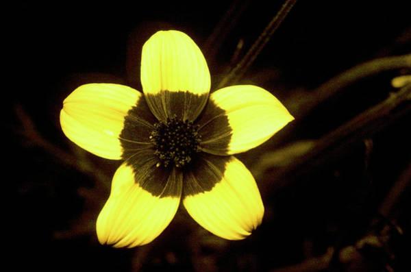 Golden Eye Photograph - Golden Eye In Uv Light by Bjorn Rorslett/science Photo Library