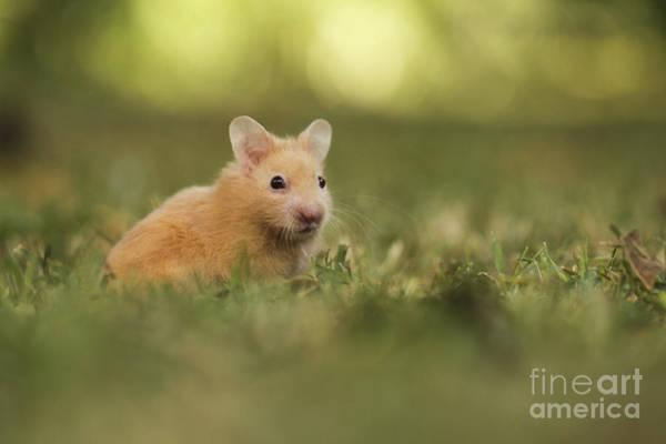 Golden Hamster Photograph - Golden Hamster by Alon Meir