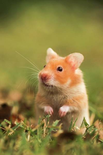 Hamster Photograph - Golden Hamster by Photostock-israel/science Photo Library