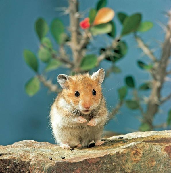 Golden Hamster Photograph - Golden Hamster by Toni Angermayer