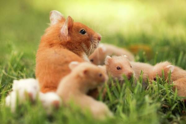 Rodents Photograph - Golden Hamster With Young by Photostock-israel