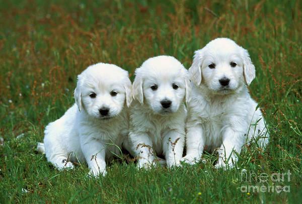 Photograph - Golden Retriever Puppies by Jean-Michel Labat