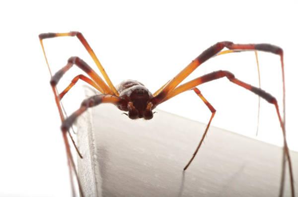 Golden Orb Spider Photograph - Golden Silk Orb-weaver Nephila by Aaron Ansarov
