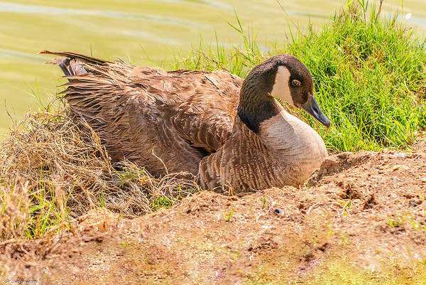 Photograph - Goose Nesting by Bob and Nadine Johnston