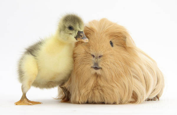 Gosling Photograph - Gosling And Guinea Pig by Mark Taylor