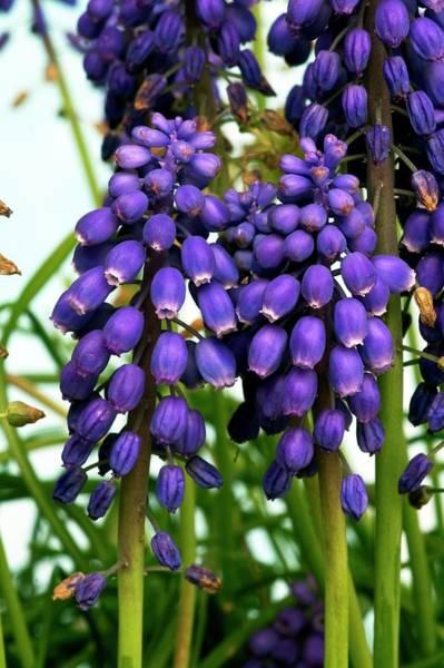 Purple Grapes Photograph - Grape Hyacinth (muscari Armeniacum) by Brian Gadsby/science Photo Library