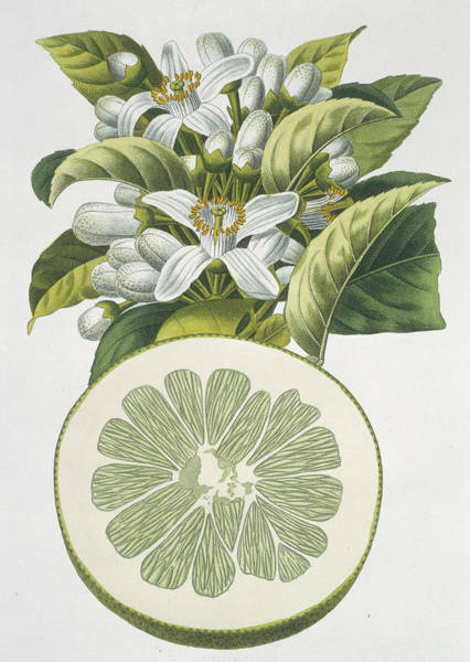 Wall Art - Photograph - Grapefruit by Natural History Museum, London/science Photo Library