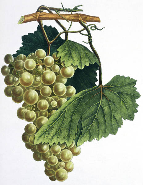 Wall Art - Photograph - Grapes by Natural History Museum, London/science Photo Library