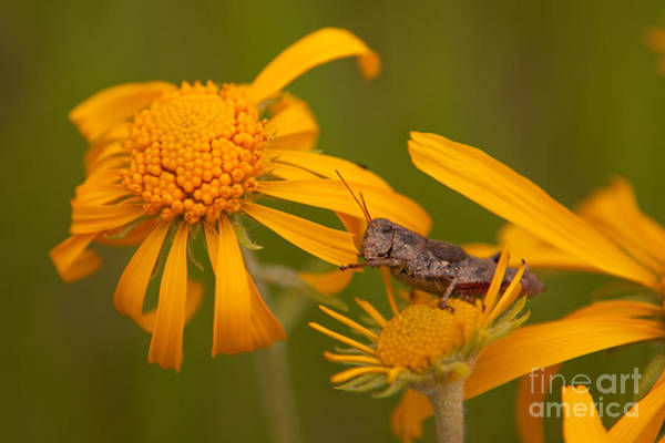 Photograph - Grasshopper Eating Orange Sneezeweed At East Dallas Creek by Fred Stearns